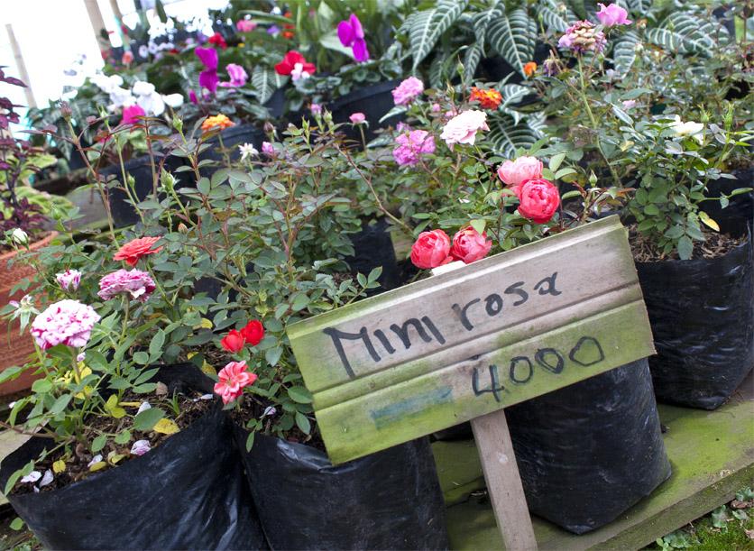 Olika sorters rosor som säljs i Carlos butik