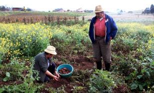 Gloria och Otoniel plockar potatis på ett fält