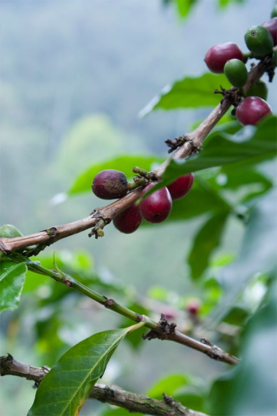 Kaffebönor på en gren