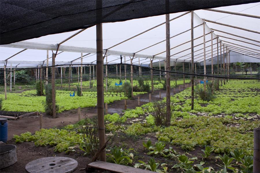 Ett växthus fullt med salladsodlingar
