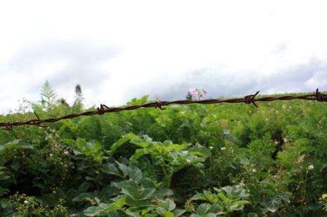 Ett fält med potatis inhägnat med taggtråd